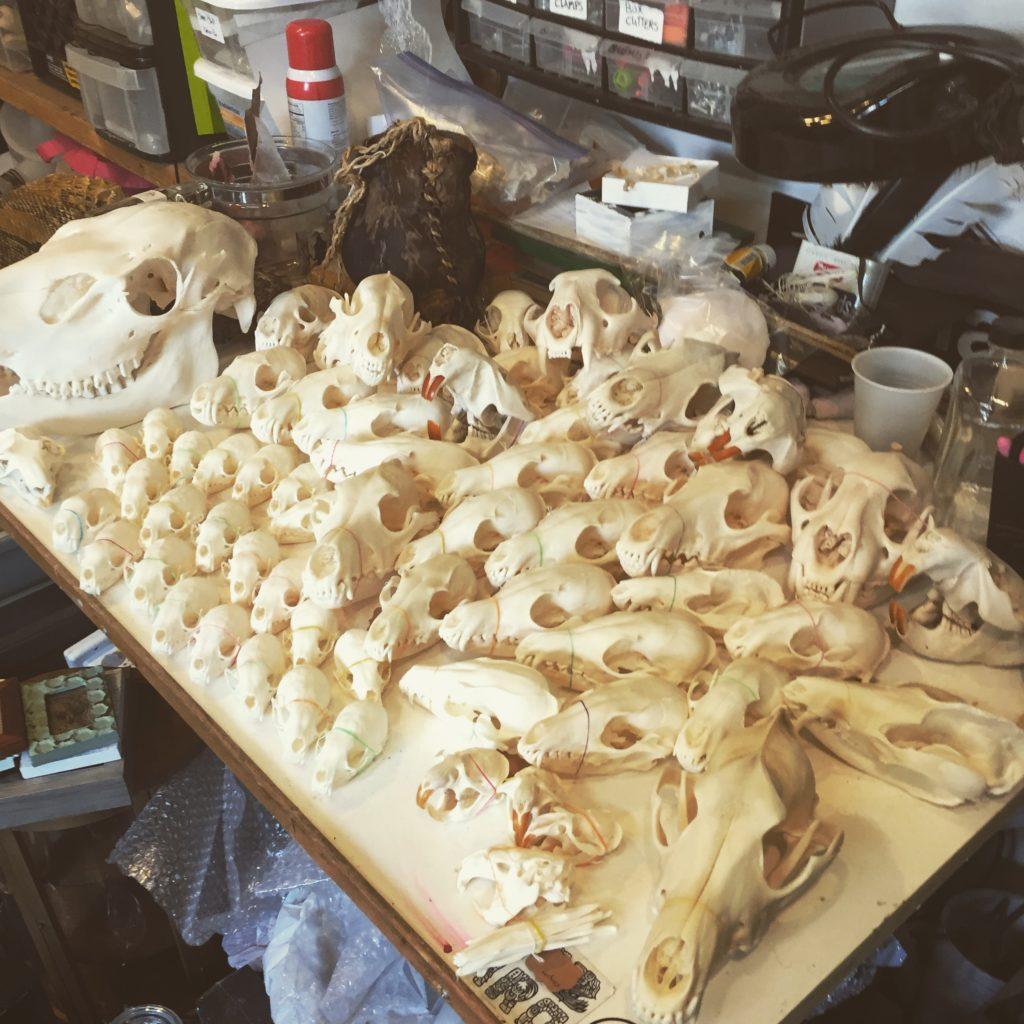 Beetle Cleaned Skulls