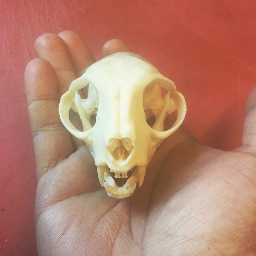 Domestic Cat skull