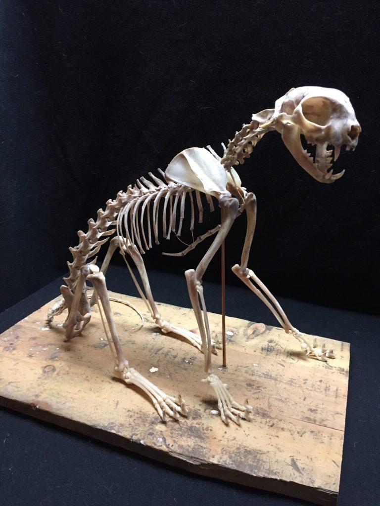 Cat skeleton