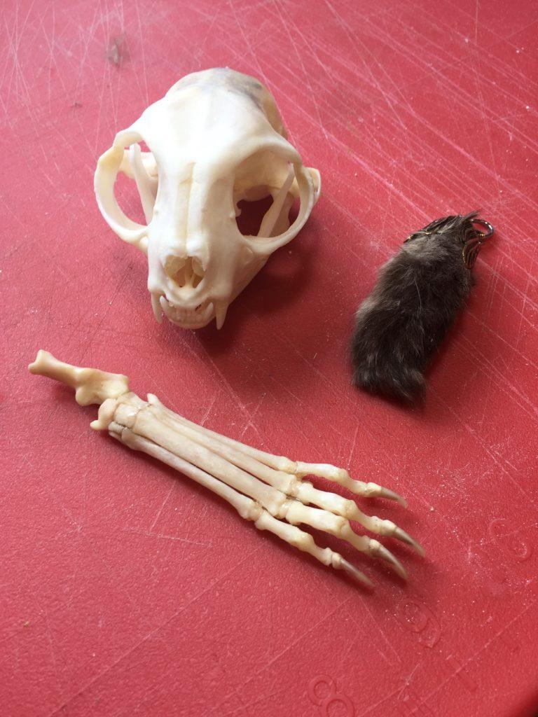 Cat skull and feet